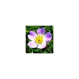 eglantine-wild-rose