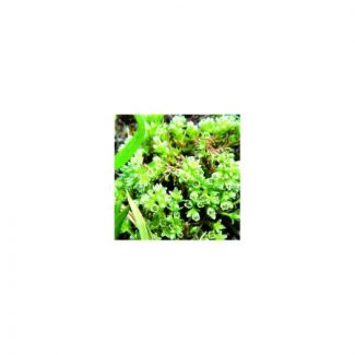 gnavelle-scleranthus