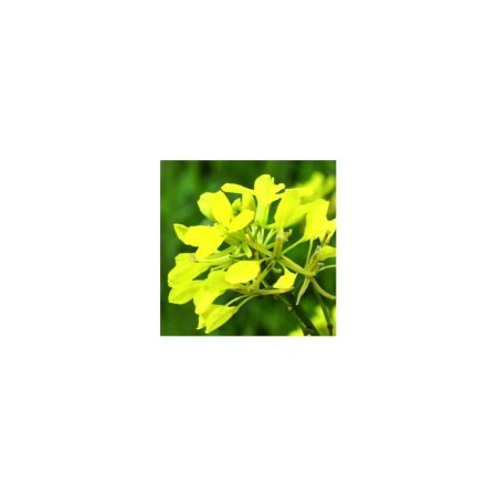 moutarde-mustard