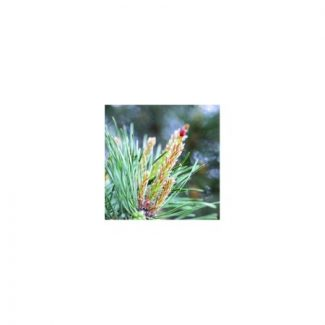 pin-pine