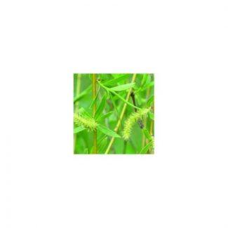 saule-willow