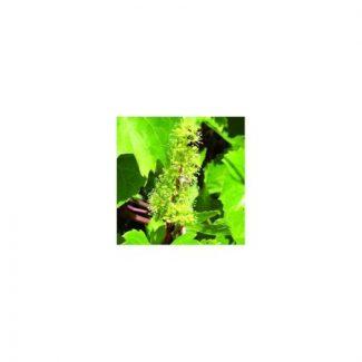 vigne-vine