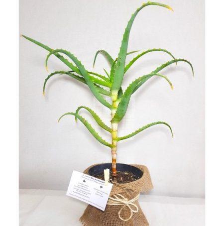 plant aloe arborescens biologique