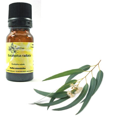 he-eucalyptus-radiata